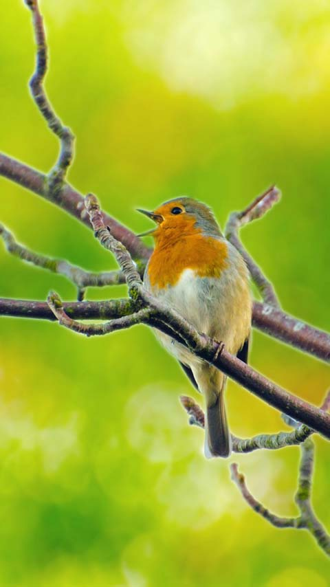 robin bird green yellow wallpaper background phone