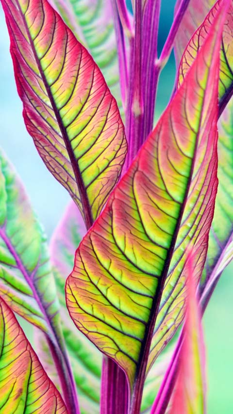 ornamental plant green leaves wallpaper background phone