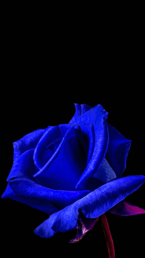 navy blue rose dark black wallpaper background phone