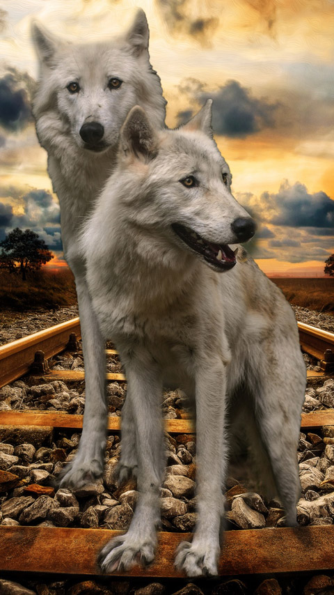 wolves white animal railroad sunset wallpaper background phone
