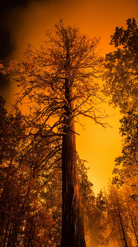 tall trees orange sunset forest wallpaper background phone
