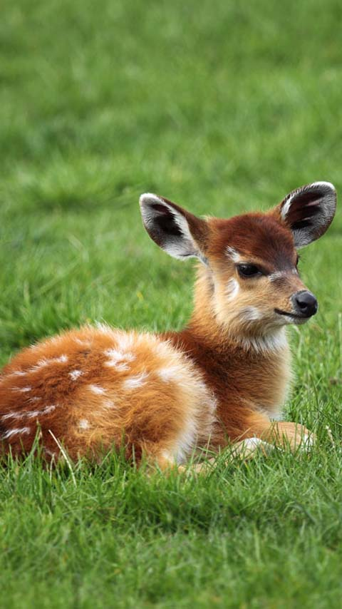 deer baby background wallpaper free phone